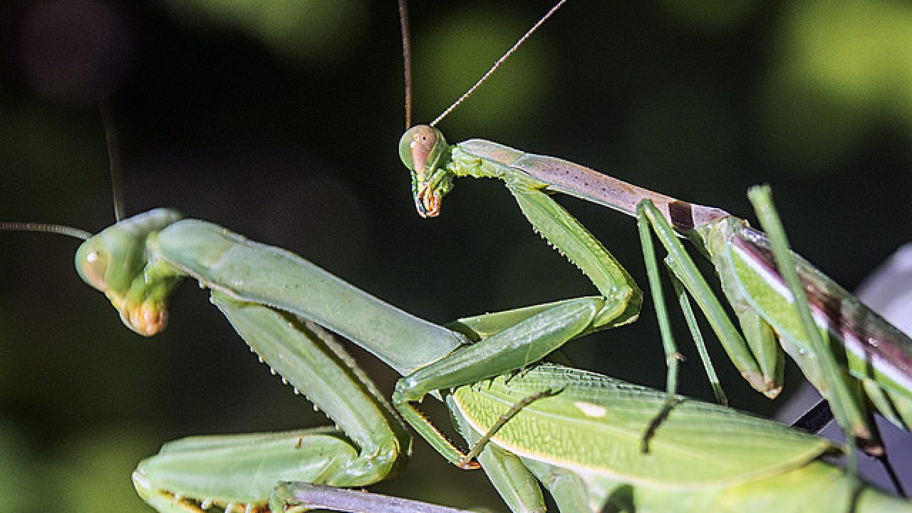 Male Vs Female Praying Mantis Differences And Similarities