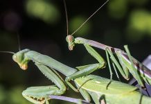 male and female praying mantis