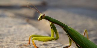 how big is a praying mantis