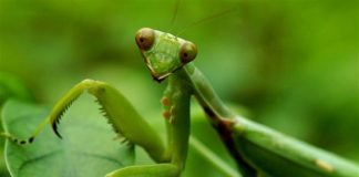 do praying mantis eat plants