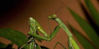 how do praying mantis eat