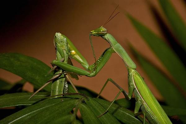 how do praying mantis eat