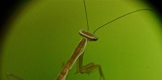 how many babies does a praying mantis have