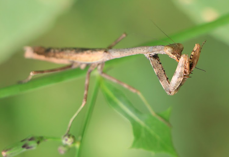 carolina praying mantis