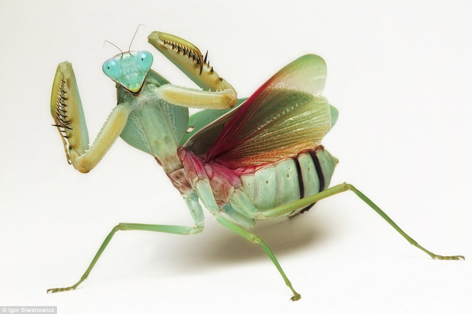 praying mantis fun facts