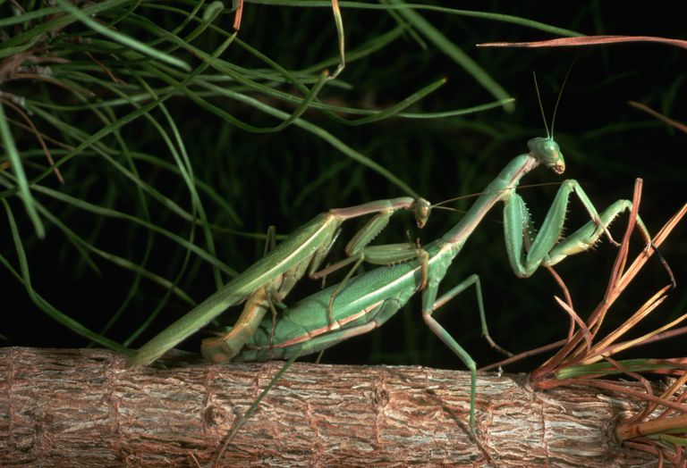 why does the female praying mantis eat the male