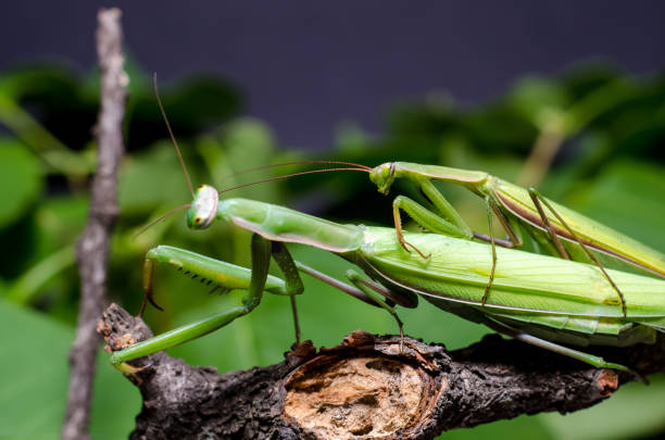 praying mantis mating facts