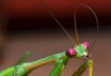 is a praying mantis an insect