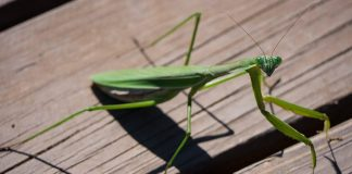 what does it mean when you see a praying mantis