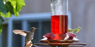 do praying mantis eat hummingbird