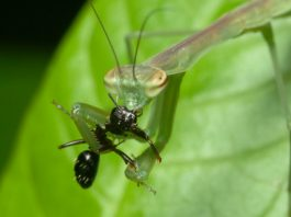 do praying mantis eat ants