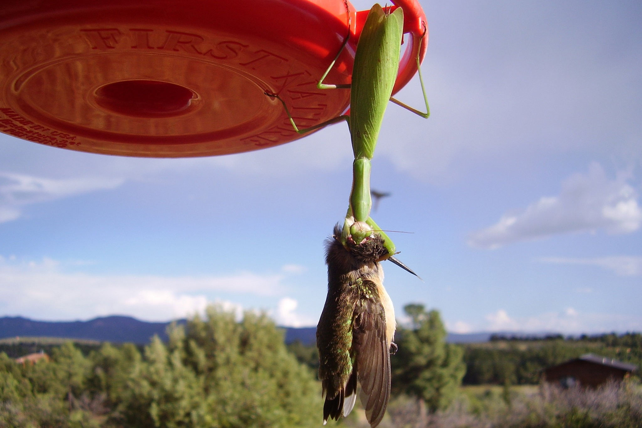praying mantis eating hummingbird