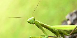 why are praying mantis endangered
