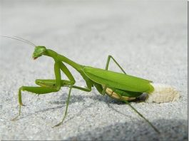 do praying mantis lay eggs