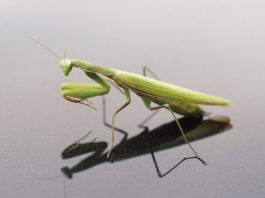 how many legs does a praying mantis have