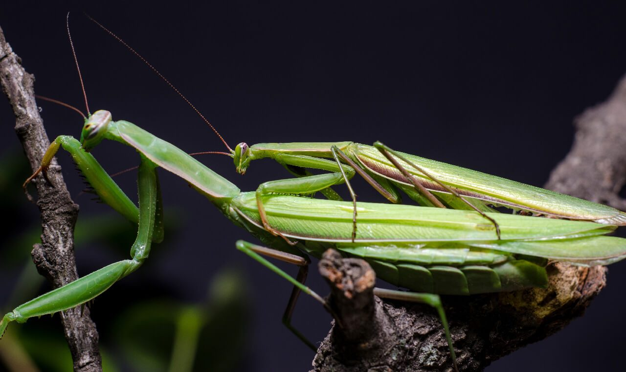 praying mantis mating rituals