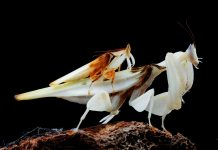 orchid praying mantis facts