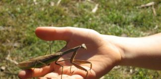 are praying mantis dangerous to humans